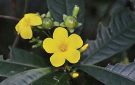 缅北植物一新种,石海椒的新姐妹--腺苞石海椒