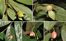 盈江暗罗,东南亚中心发现中缅边境番荔枝科一新种