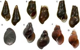 田螺沟蜷分类地位的确定和重新描述