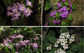 Molecular Ecology:历史气候变化与喀斯特植物物种形成研究取得进展