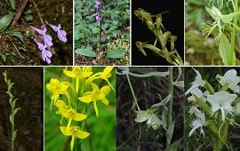 BMC Plant Biology: 兰科红门兰亚族的分子系统学及属的界定研究