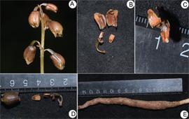 克钦天麻, 缅甸被子植物一新种