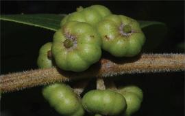 掸邦算盘子--缅甸算盘子属植物一新种