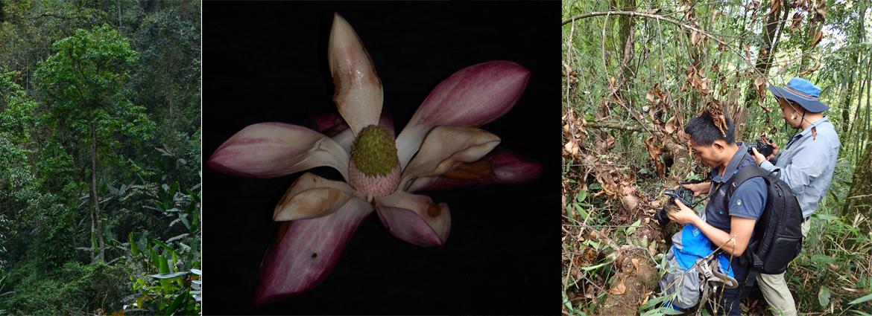 克钦木兰---东南亚中心资助发表的第一个乔木新种