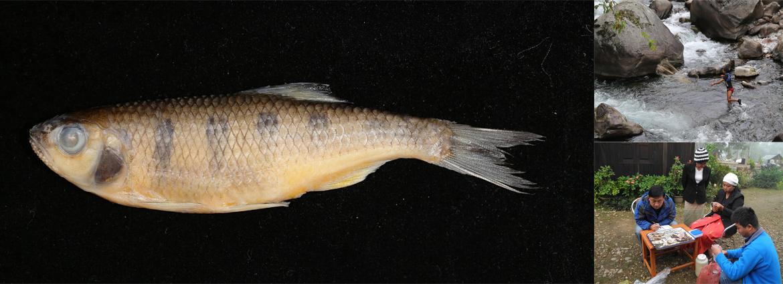 中缅联合发表缅甸北部葡萄地区鲤科鱼类新种——葡萄真马口波鱼
