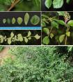 云南日报:云南元江发现大戟科植物新属希陶木属