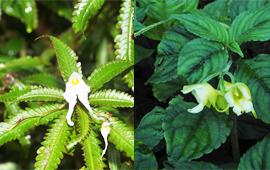 中新社:中缅科研人员在缅北发现两个植物新种