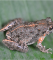科学会:中泰联合科考发现蛙类新种