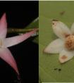 云南日报:中缅联合发表两种海岛木属植物
