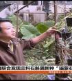"""云南卫视:中缅联合发现兰科石斛属新种""""瑙蒙石斛"""""""