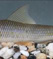 中国科学院:昆明动物所在缅甸发现鱼类新种