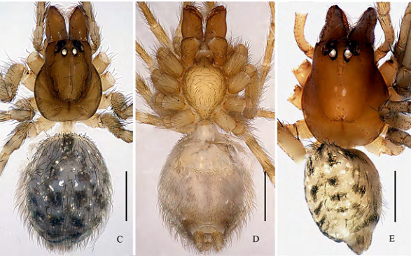 New cave-dwelling spiders of the family Dictynidae (Arachnida, Araneae) from Guangxi and Guizhou, China