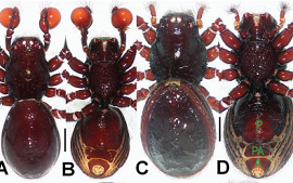 Taxonomic notes on the armored spiders of the families Pacullidae and Tetrablemmidae (Arachnida, Araneae) from Singapore