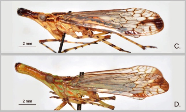 Review of the Oriental genus Protolepta Melichar, with description of the second species from Sulawesi, Indonesia (Hemiptera: Auchenorrhyncha: Dictyopharidae: Orthopagini)