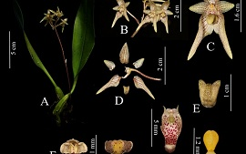 Bulbophyllum putaoensis (Orchidaceae: Epidendroideae; Malaxideae), a new species from Kachin State, Myanmar