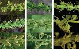 A taxonomic revision of Herminium L.(Orchidoideae, Orchidaceae)