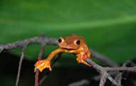 CIB has made progress in the study of adaptive evolution of metacarpal in arboreal frogs