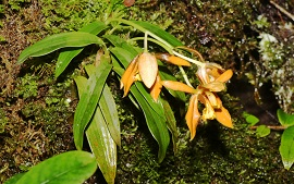 Coelogyne putaoensis (Orchidaceae), a new species from Myanmar
