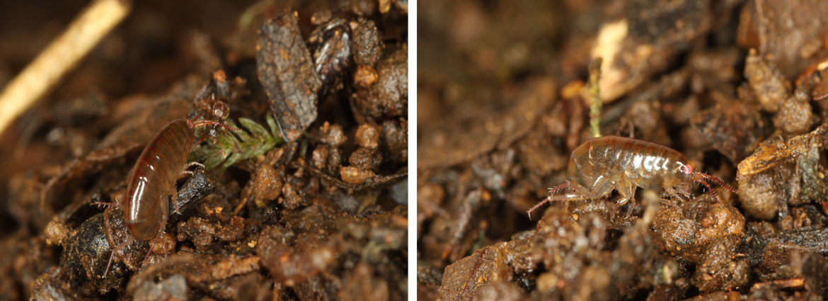 A new terrestrial talitrid genus, with two new species from Myanmar