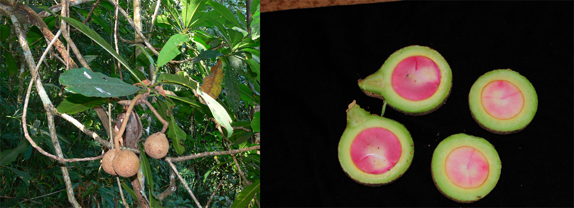 A new genus of Lauraceae reported