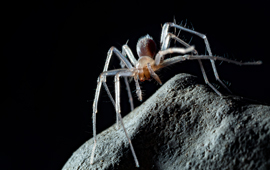 Integrative taxonomy of Leptonetela spiders (Araneae, Leptonetidae), with descriptions of 46 new species