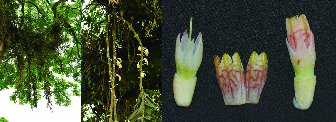 Agapetes brevipedicellata (Ericaceae), a new species from Northern Myanmar