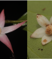 Two new species of Trivalvaria (Annonaceae) from northern Myanmar