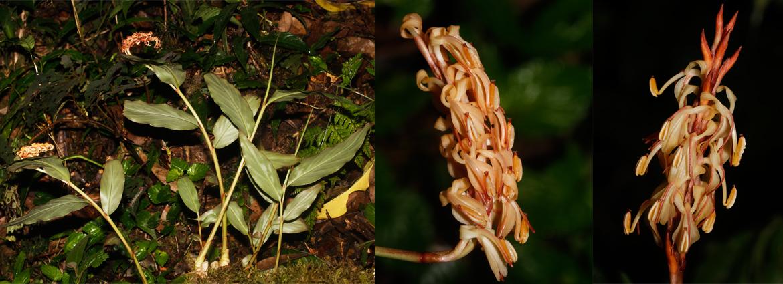 Hedychium putaoense (Zingiberaceae), a new species from  Northern Myanmar
