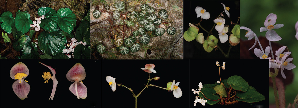 Seven new species of Begonia (Begoniaceae) in Northern Vietnam and Southern China