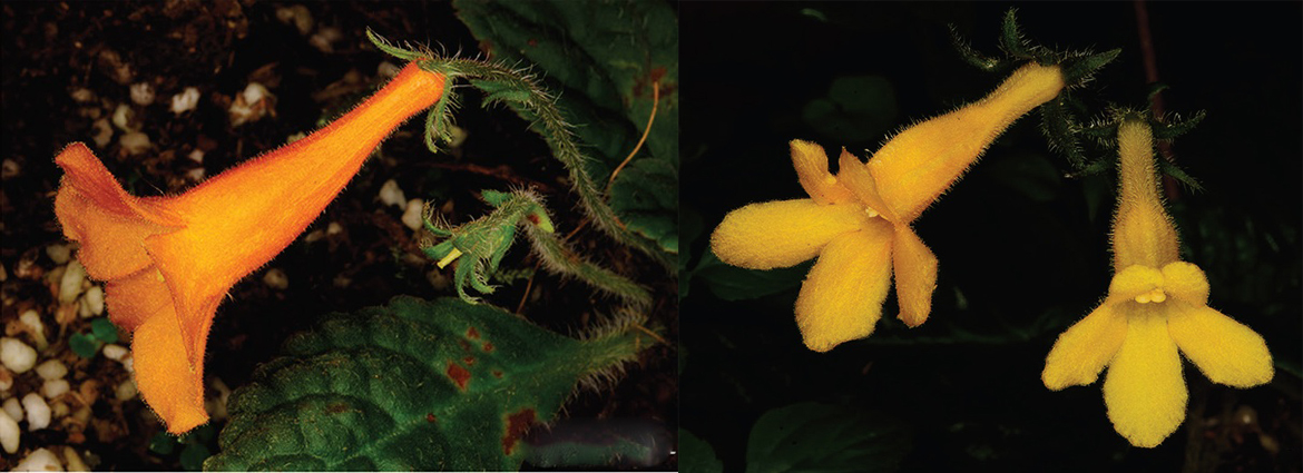 Two new species of Oreocharis (Gesneriaceae) from Fan Si Pan, the highest mountain in Viet