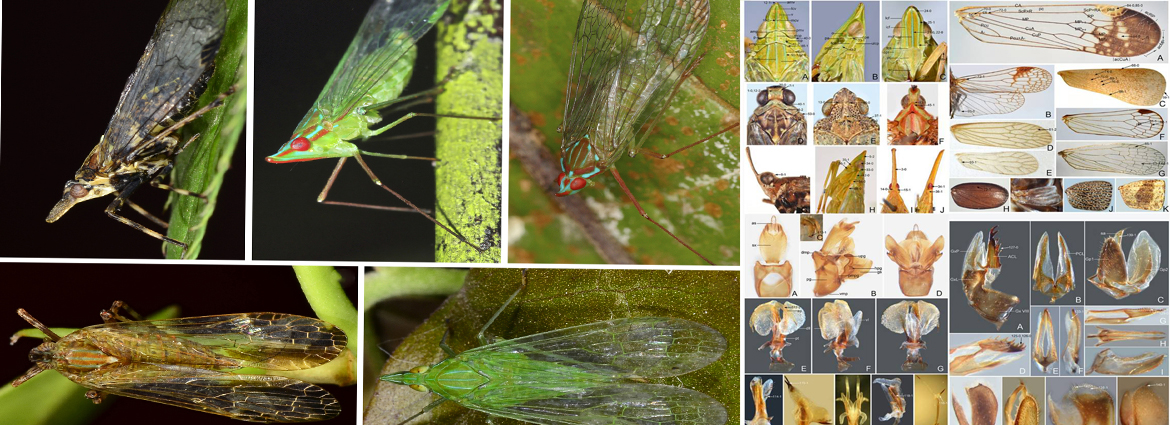Morphological phylogeny of Dictyopharidae analysis for the first time