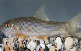 A new cyprinid fish was discovered from Irrawaddy River in Northern Myanmar