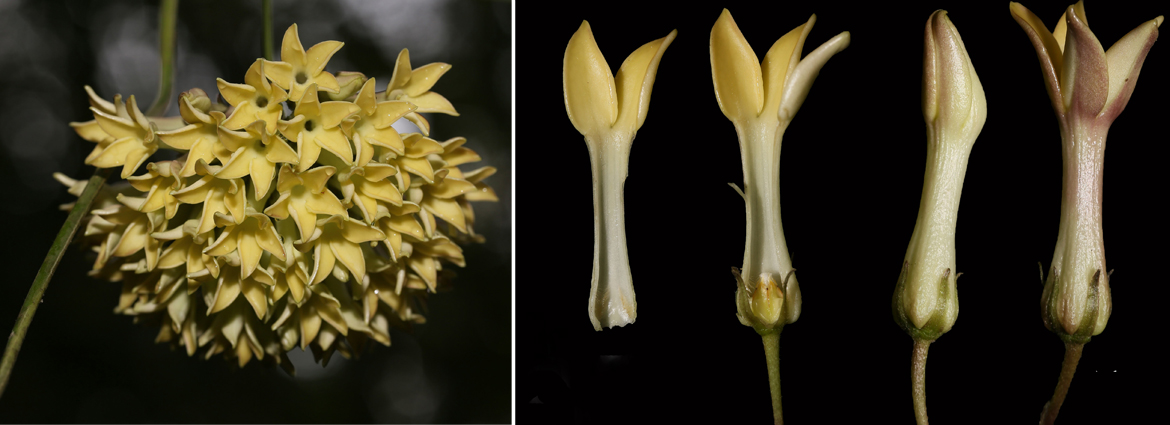 First new species of Jasminanthes reported from Laos