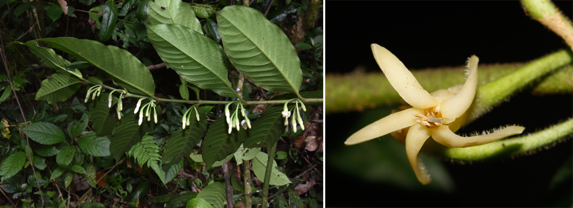 Canthium longipetalum, a new species of Rubiaceae, found in northern Myanmar