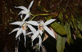 Asian Scientist:A Magnificent Orchid discovered in Myanmar