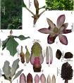 CAS news: A New Tree Species of Magnolia Found in Northern Myanmar