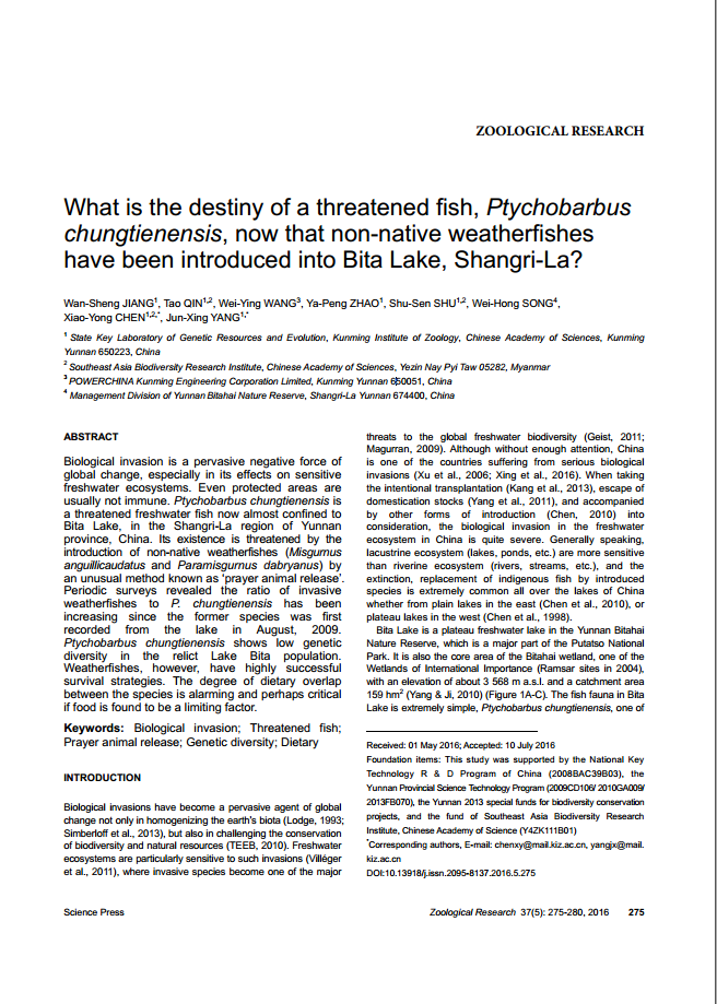 What is the destiny of a threatened fish, Ptychobarbus chungtienensis, now that non-native weatherfishes have been intro